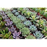 100 BEAUTIFUL SUCCULENTS for WEDDING/PARTY FAVORS