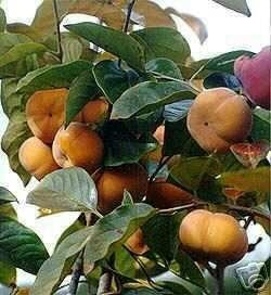 Giant Fuyu Persimmon Tree