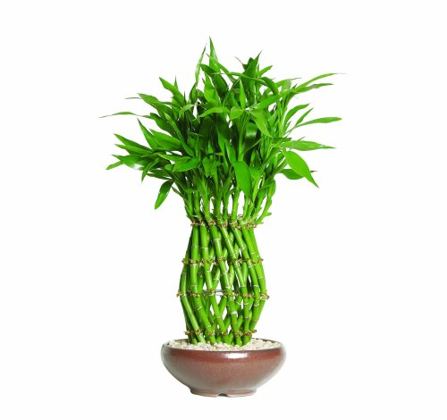 Best Lucky Bamboo Growing Tips