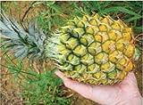 沖縄県産フルーツ ボゴールパイン1玉(1玉約600g?800g) ランキングお取り寄せ