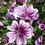 Hollyhock Flower Seeds By Kraft Seeds [PACK OF 5]