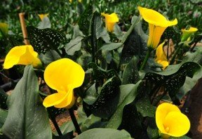 Mini Calla Golden Yellow 120 Flowers