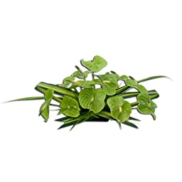 Hawaiian Flowers Dozen Deluxe Green Anthurium