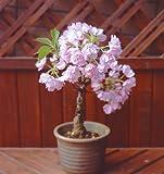 家庭でこの春、花見が出来る「一才桜 信楽焼鉢植・受け皿付き」1鉢