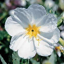 Evening Primrose Innocence - Park Seed Perennial Seeds - Buy Evening Primrose Innocence - Park Seed Perennial Seeds - Purchase Evening Primrose Innocence - Park Seed Perennial Seeds (Park Seed, Home & Garden,Categories,Patio Lawn & Garden,Plants & Planting,Outdoor Plants,by Moisture Needs,Little-to-No Watering)