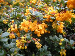 Darwin's Barberry - Berberis Darwinii - 1 Pkt Of 25 Seeds - Fruiting Shrub - Berries