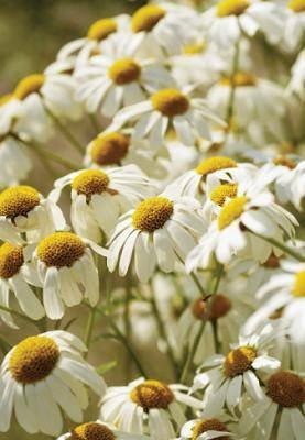 Chamomile-German-Essential