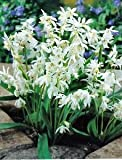 30 Scilla Siberica Alba (Siberian Wood Squill) Bulbs Dwarf Ideal For Rockery&Pots