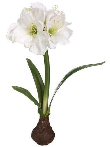 Offer black friday 21 standing amaryllis wbulb white pack for Amaryllis bulbe conservation