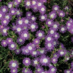Delosperma Stardust - Park Seed Perennial Seeds - Buy Delosperma Stardust - Park Seed Perennial Seeds - Purchase Delosperma Stardust - Park Seed Perennial Seeds (Park Seed, Home & Garden,Categories,Patio Lawn & Garden,Plants & Planting,Outdoor Plants,by Moisture Needs,Moderate Watering)