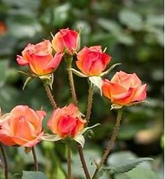 120 Real Fresh Spray Rose Mambo