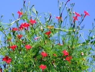 35 RED CYPRESS VINE (Star Glory / Hummingbird Vine) Ipomoea Quamoclit Flower Seeds (Hummingbird 35 compare prices)