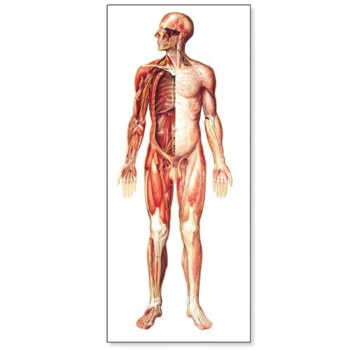 3B Scientific V2037U The Nervous System Anatomical Chart, without Wooden Rods, Front View, Oversize Poster, 33.1
