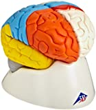 "3B Scientific C22 8 Part Neuro-Anatomical Brain Model, 5.5"" x 5.5"" x 6.9"""