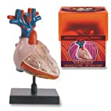 Bio Signs Human Anatomy - Heart by Tedco