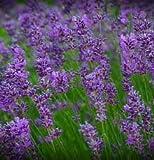 Biocarve Herb Lavender - Pack of 50 seeds