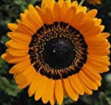 VENIDIUM - CAPE DAISY - ORANGE PRINCE - 4000 FLOWER SEEDS