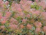 Smoke Bush - Cotinus Coggygria - 1 Pkt of 25 seeds - Shrub - Hedging