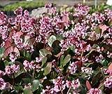 Bergenia cordifolia 'Rosa Zeiten' - In a 1 L round pot