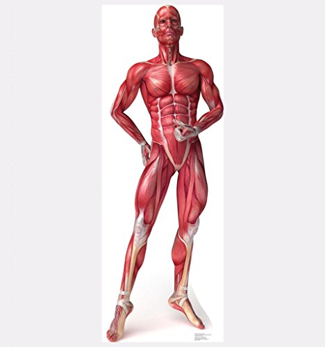 Anatomy Muscle System - Advanced Graphics Life Size Cardboard Standup (Muscular System Model compare prices)