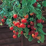Tomato Tumbling Tom Red - Hybrid Great Garden Vegetable 30 Seeds