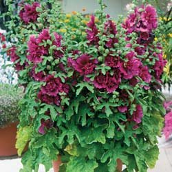 Hollyhock Queeny Purple - Park Seed Hollyhock Seeds - Buy Hollyhock Queeny Purple - Park Seed Hollyhock Seeds - Purchase Hollyhock Queeny Purple - Park Seed Hollyhock Seeds (Park Seed, Home & Garden,Categories,Patio Lawn & Garden,Plants & Planting,Outdoor Plants,by Moisture Needs,Regular Watering)