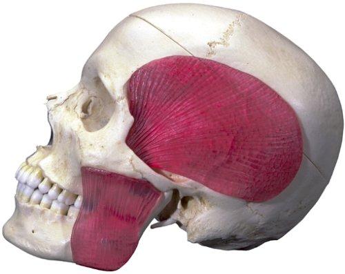 頭蓋,咀嚼筋付,半側透明8分解モデル