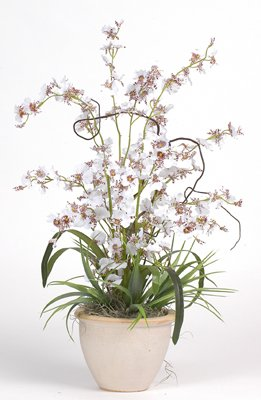 Dancing Lady Silk Orchid Plant - White