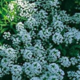 Just Seed - Flower - Alyssum - Carpet of Snow - 1000 Seed - Annual