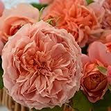 バラ苗 ムーランドラギャレット 国産大苗河本オリジナル角鉢6号 つるバラ 返り咲き 大輪 オレンジ系