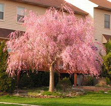 3-4 ft. - Pink Weeping Cherry Tree