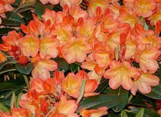rhododendron-neon-first-year-plants-three-plants