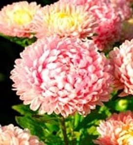 """(AAS)~""""DUCHESS PINK"""" TALL PEONY ASTER~Seeds!~~~~~~~~~~A Spectacular Find!"""