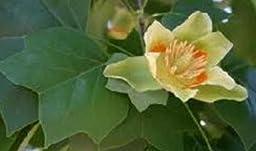 Yellow Tulip Poplar Liriodendron tulipifera Live Trees - 15 - 25\