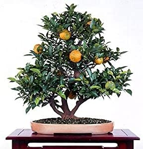 Panama Orange Tree - Calamondin 10 Seeds - Citrus mitis