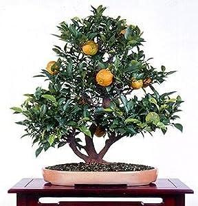 Panama Orange Tree - Calamondin 10 Seeds - Citrus mitis
