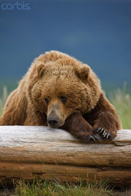 Wallmonkeys Peel and Stick Wall Decals - Grizzly Bear Resting on Log at Hallo Bay - 60