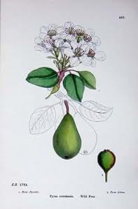 La Impresión Antigua de la Botánica Salvaje de la Pera Planta las Flores Communis del Pyrus C1902