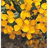 Non-Hybrid Herb Mexican Mint Marigold 100 Seeds per Packet