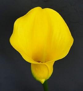 'Millenium Gold' Calla Lily Bulb 14/16cm