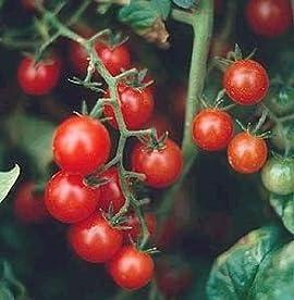 Red Currant Tomato 30 Seeds - Heirloom -Tart/Sweet