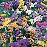 South Eastern Horticultural Pack Flower Seeds Statice Art Shades Mixed Johnsons Quality Garden Seed
