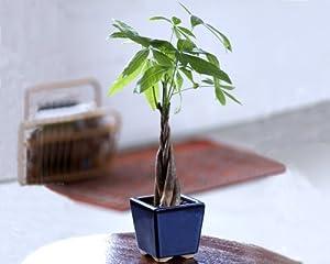 Braided Money Tree - Live Plant - Bonsai Plant in Ceramic Pot - Ships fast via 2-Day Air