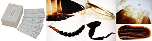 apex-beetle-slides