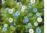 Love in a Mist Flower Seeds - 2,200 Flower Seeds in Each Packet