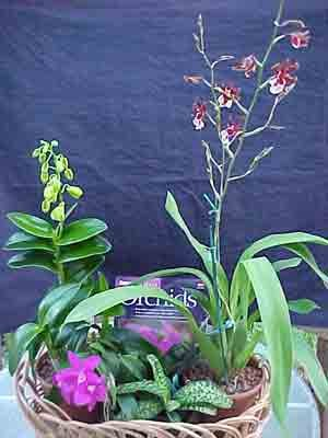 Bare-root Orchid Collection - Buy Bare-root Orchid Collection - Purchase Bare-root Orchid Collection (Orchids R Us, Home & Garden,Categories,Patio Lawn & Garden,Plants & Planting,Bulbs,by Moisture Needs,Moderate Watering)