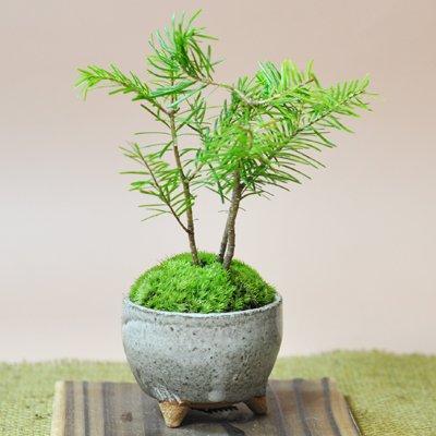 盆栽妙 かわいい南国風な松盆栽 とどまつ ミニミニ鉢 樹高15cm×幅15cm