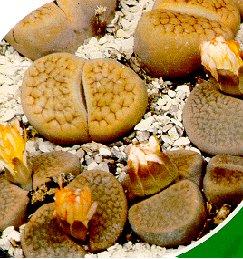 Living Stones 10 Seeds- Lithops- Succulents!