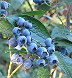 *Seeds and Things 100+ Highbush Blueberry Seeds Blueberries--