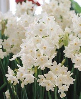 Narcissus Ziva Paperwhites, 10 bulbs - 17+cm